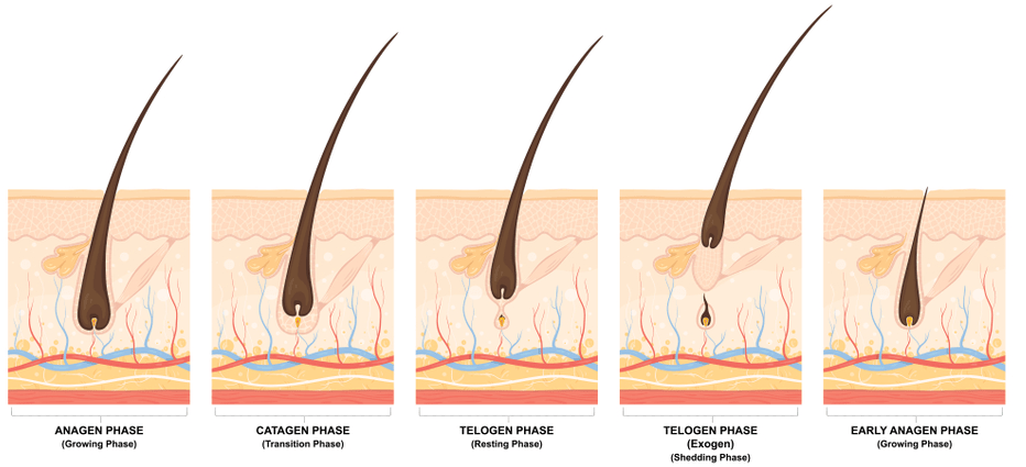 The Hair Growth Cycle - 4 Stages