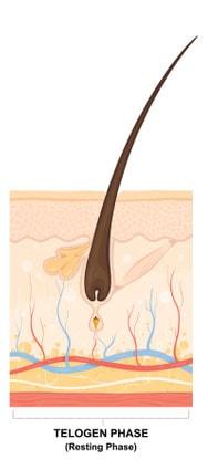 hair growth cycle telogen